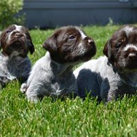 Wirehaired Pointing Griffon puppies at Broken Bow Kennels