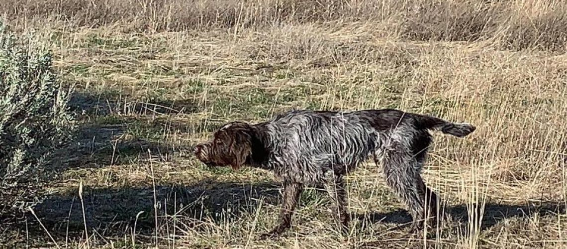 Fitz-Wirehaired Pointing Griffon