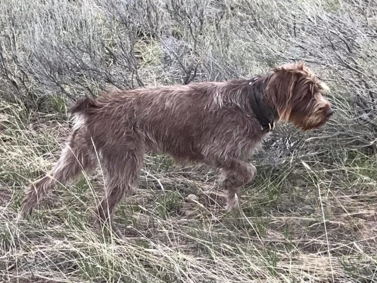 Shai-A hunting Wirehaired Pointing Griffon